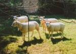 Texal lambs ready for market shortly