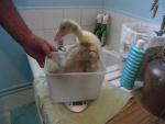 Large gosling