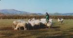 Sheep before lambing