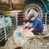Sheep shearing in the shed