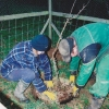 Planting an apple tree