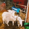 Orphan lambs tucking in