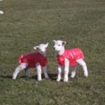 Lambs in pink plastic coats