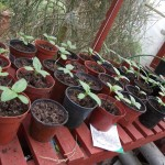 Sunflowers nearly ready for planting out
