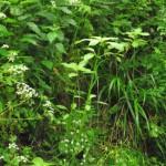 Himalayan Balsam – a pest