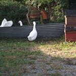 Geese, Crabbs Bluntshay Farm, Bridport, Dorset