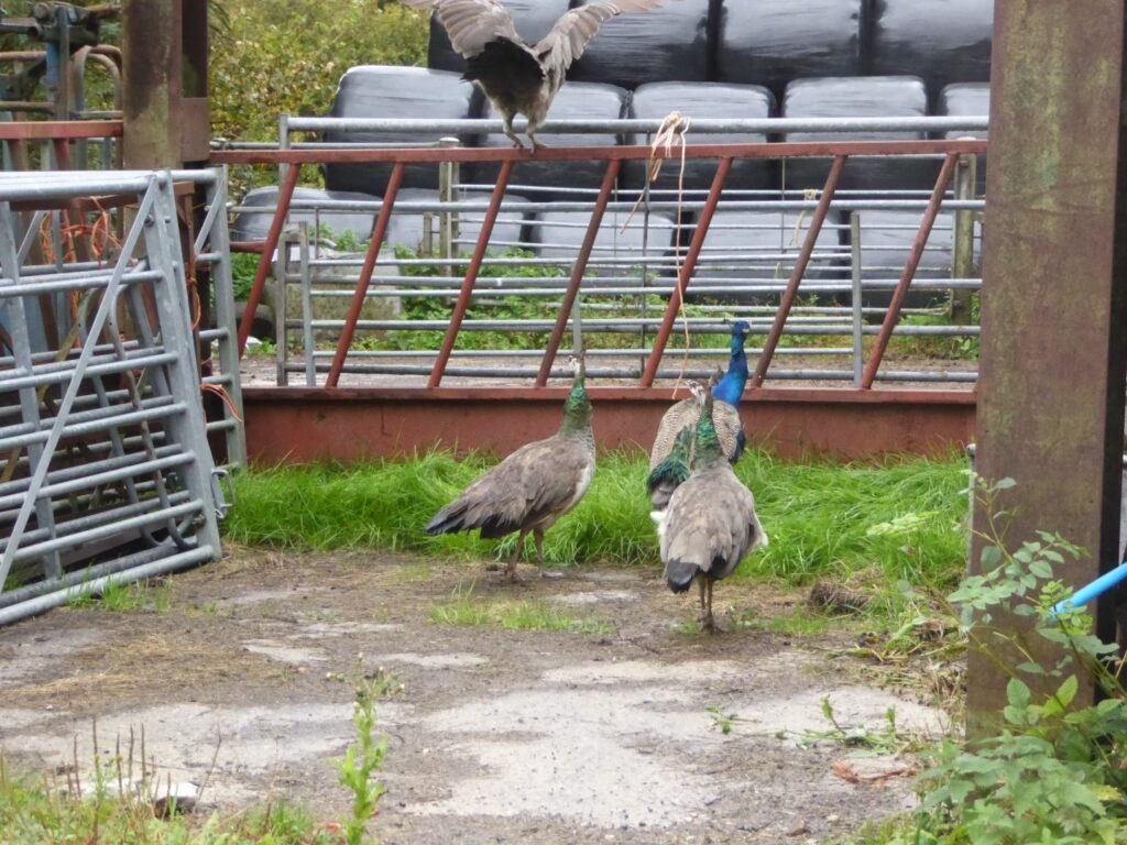 NOMADIC PEACOCKS FROM LITTLE BLUNTSHAY FARM