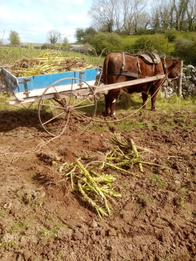 WORKING WITH OXEN AND COB CLAY WALLING